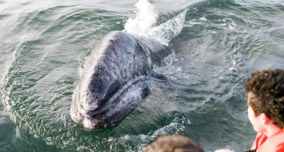 Grey Whale Watching Magdalena Bay