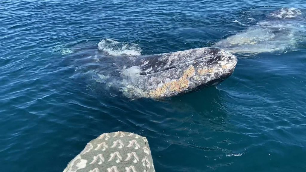 Gray Whales in Mag Bay