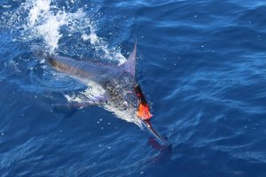 Marlin in Magdalena Bay