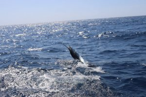Striped Marlin Mag Bay