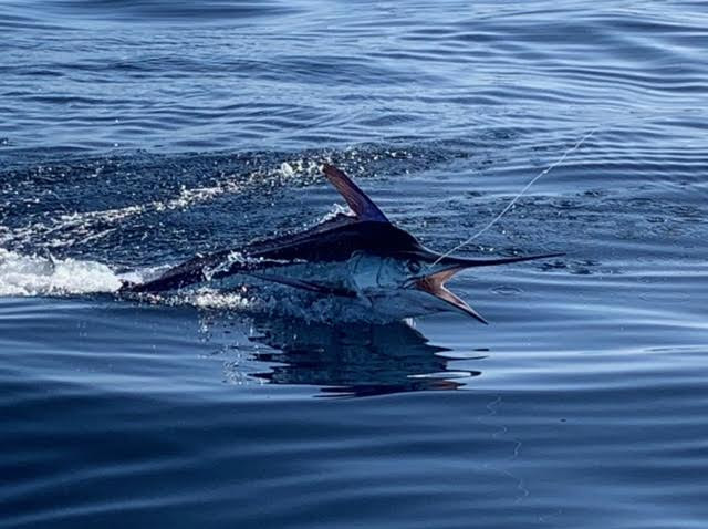 Striped Marlin in Mag Bay